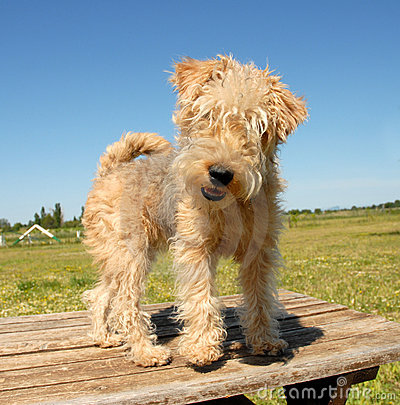 Free Hunting Puppy Terrier Royalty Free Stock Photo - 2552605