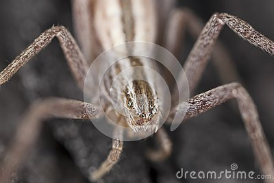 Hunting spider camouflaged on wood