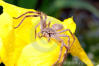 Huntsman spider on flower