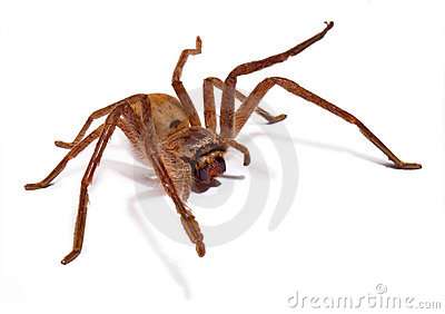 Huntsman Spider Isolated