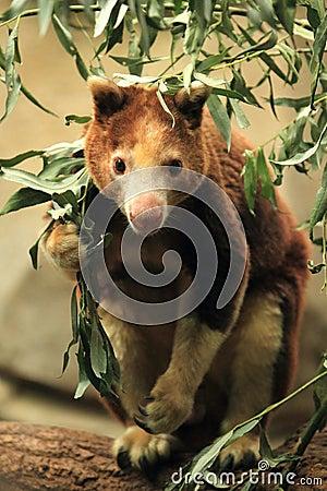 Huon tree-känguru