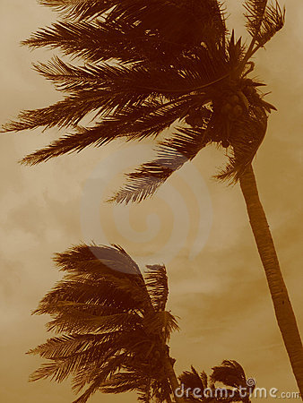 Free Hurricane Palms Stock Photos - 2203713