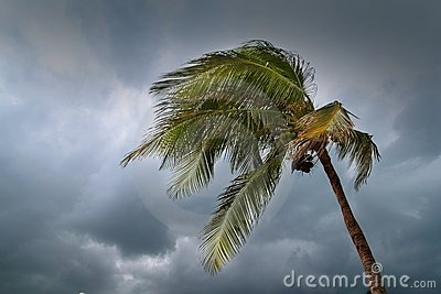 Hurricane tropical storm coconut palm tree leaves