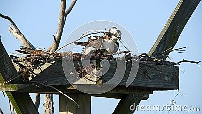 Hus- och hondjur - Osprey Nest Housekeeping lager videofilmer