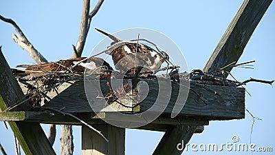 Hus- och hondjur - Osprey Nest Housekeeping arkivfilmer