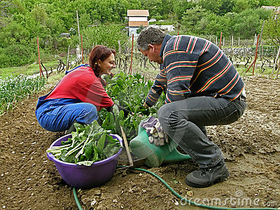Husband and wife picking chard