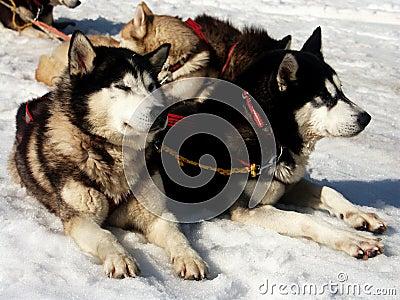 Huskie on snow