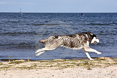 Husky on the beach