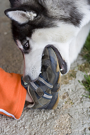 Husky bites child s foot