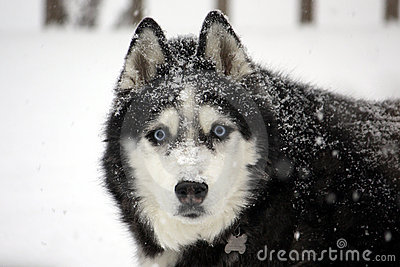 Husky in a Blizzard