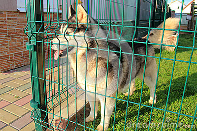 Husky In A Cage Royalty Free Stock Photography Image