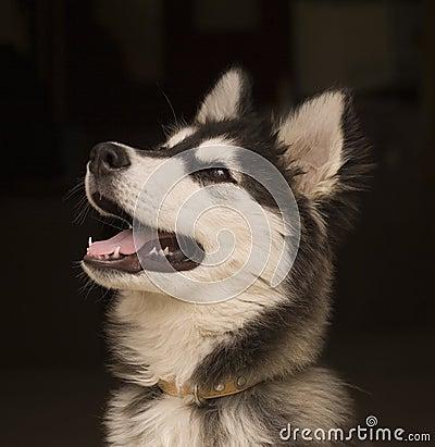 Free Husky Dog Stock Photos - 2318333
