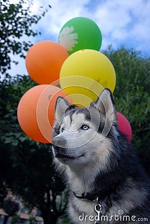 Husky dog and balloons