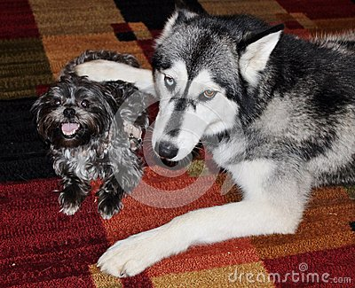 Husky Dog Being Protective over Little Morkie Dog