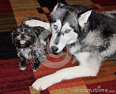 Husky Dog Being Protective over Little Morkie Dog