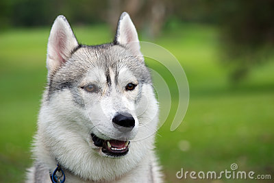 Husky dog face