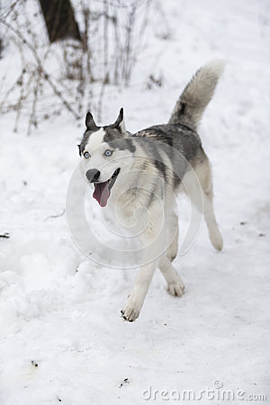 Free Husky Dog For A Walk In The Park Stock Photo - 66263240