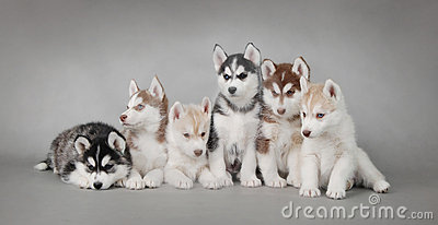 Husky dog puppies