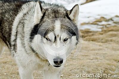 Husky dog  in  wilderness