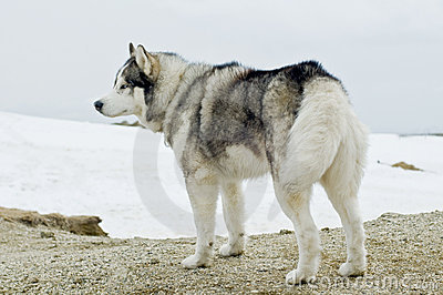 Husky dog in winter