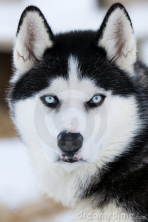 Husky Puppies on Husky Dogs  Click Image To Zoom