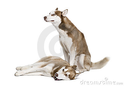 Husky dogs sitting in front of white background