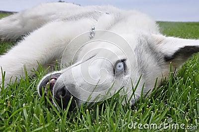 Husky in the grass