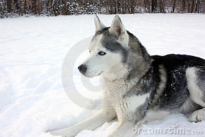 Husky Laying in Snow