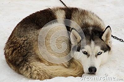 Husky lying in the snow