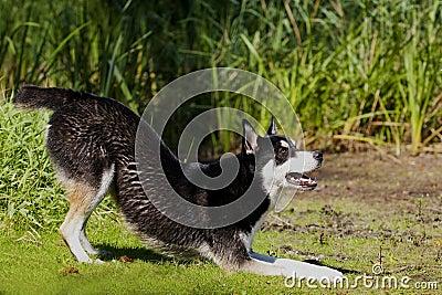 Husky Mix Dog playing
