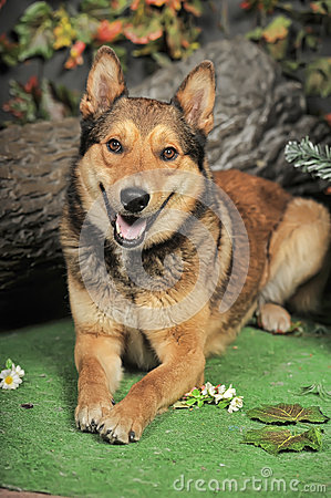 Free Husky Mixed With A German Shepherd Royalty Free Stock Image - 40110836
