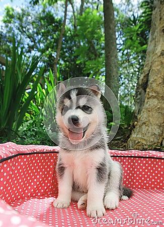 Free Husky Puppy Royalty Free Stock Photos - 996358
