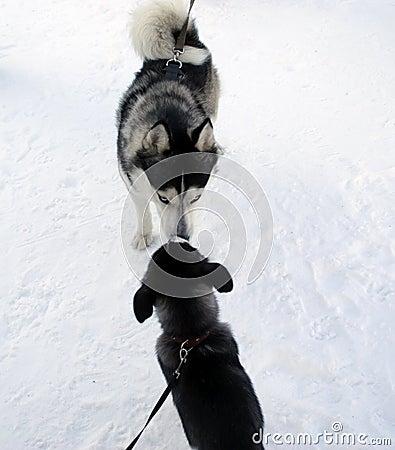 Husky and puppy of husky