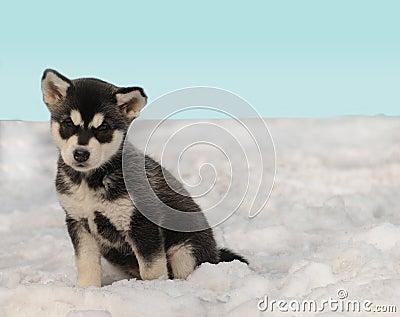 Husky puppy on the snow