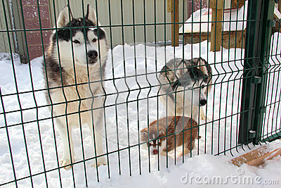 Family Dog Huskies in the aviary