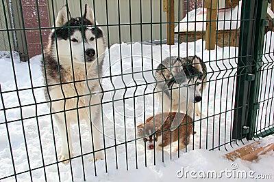 Family Dog Huskies in the aviary