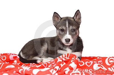 Husky Puppy on a Valentine s Day Blanket