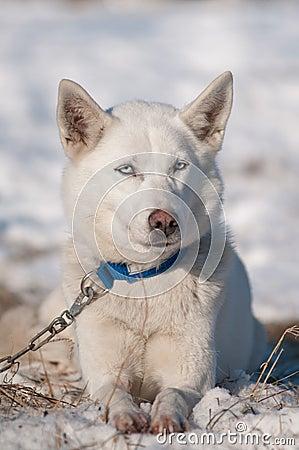 Husky siberiano con gli occhi azzurri fotografia stock - Husky con occhi diversi ...