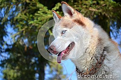 Husky siberiano con gli occhi azzurri immagine stock immagine 28676641 - Husky con occhi diversi ...