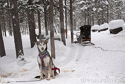 Husky and Sled