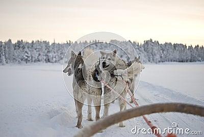 Husky - sled dogs