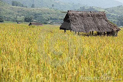 Hut in a rice field