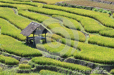The hut in terrace rice field