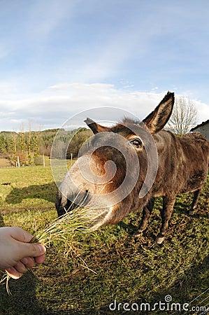 Huvud av en åsna som äta gräs tuft