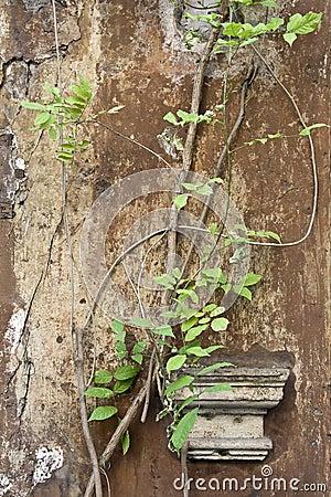 Huvudmurgröna