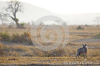 Hyène dans le lever de soleil