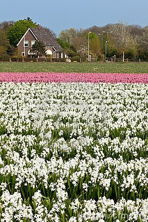 Hyacinth field in Holland