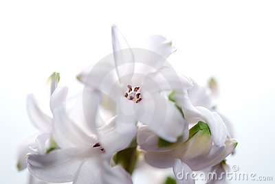 Hyacinth flower macro.