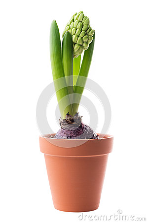 Free Hyacinth In A Flower Pot Royalty Free Stock Images - 29695249