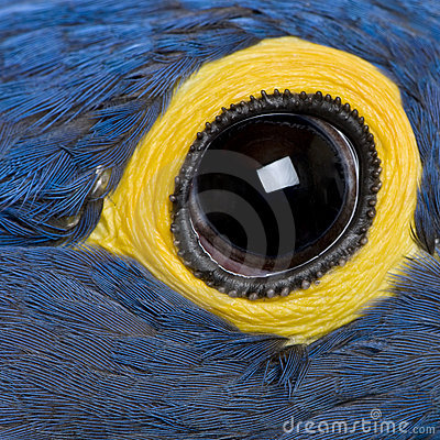 Hyacinth Macaw, 1 year old, close up on eye